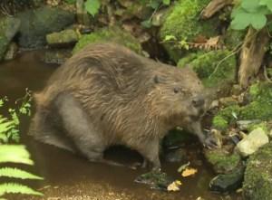 Sigourney Beaver, first beaver of Bodmin Moor