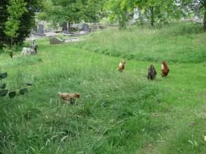 Chickens at Truro Public Cemetery