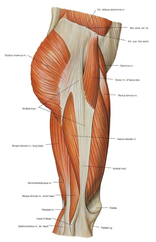 small resolution of right thigh muscle diagram
