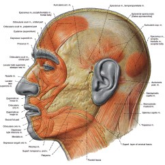 Muscles Of Facial Expression Diagram Marathon Electric Ac Motor Wiring Lateral Diy Enthusiasts