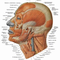 Face Muscles Diagram Dpdt Rocker Switch Wiring 1000 43 Images About The Human Body On Pinterest