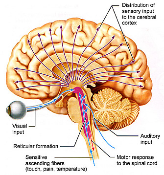 reticular formation diagram vw eos parts the brain or central nervous system