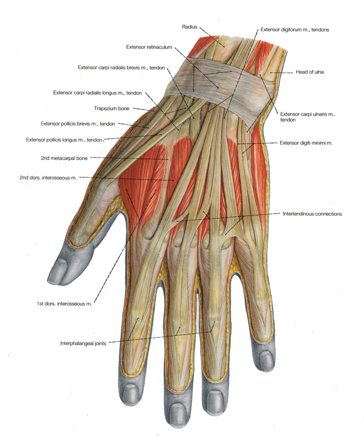 hand muscles diagram vz binnacle gauge wiring of the arm and anatomical plates