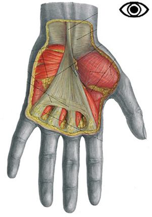 palmar hand muscle anatomy diagram whirlpool electric range wiring muscles of the arm and anatomical plates 1