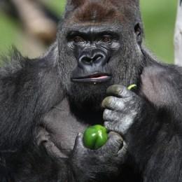 Silverback+Gorilla+Joins+London+Zoo+Uo1F_5mK7-tl