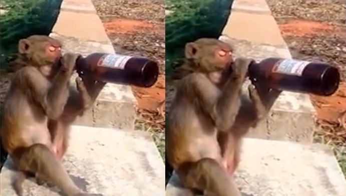 Drunk monkey gets life imprisonment for attacking 250 humans