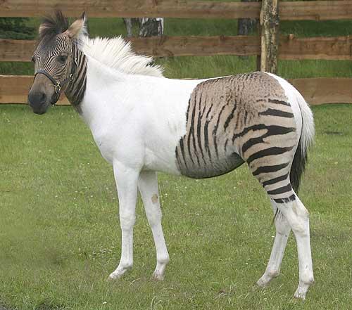 CHI SONO? Non è una zebra a pois, ma poco di manca. Il suo nome è Eclyse, la fusione di Eclipse (la mamma cavallo) e Ulysses (il papà zebra). Ne è venuta fuori questa puledra di un anno metà zebra e metà cavallo ed è la maggiore attrazione di un parco zoo tedesco. Comunque gli incroci tra cavalli e zebre in Africa sono tutt'altro che rari (da The Sun)