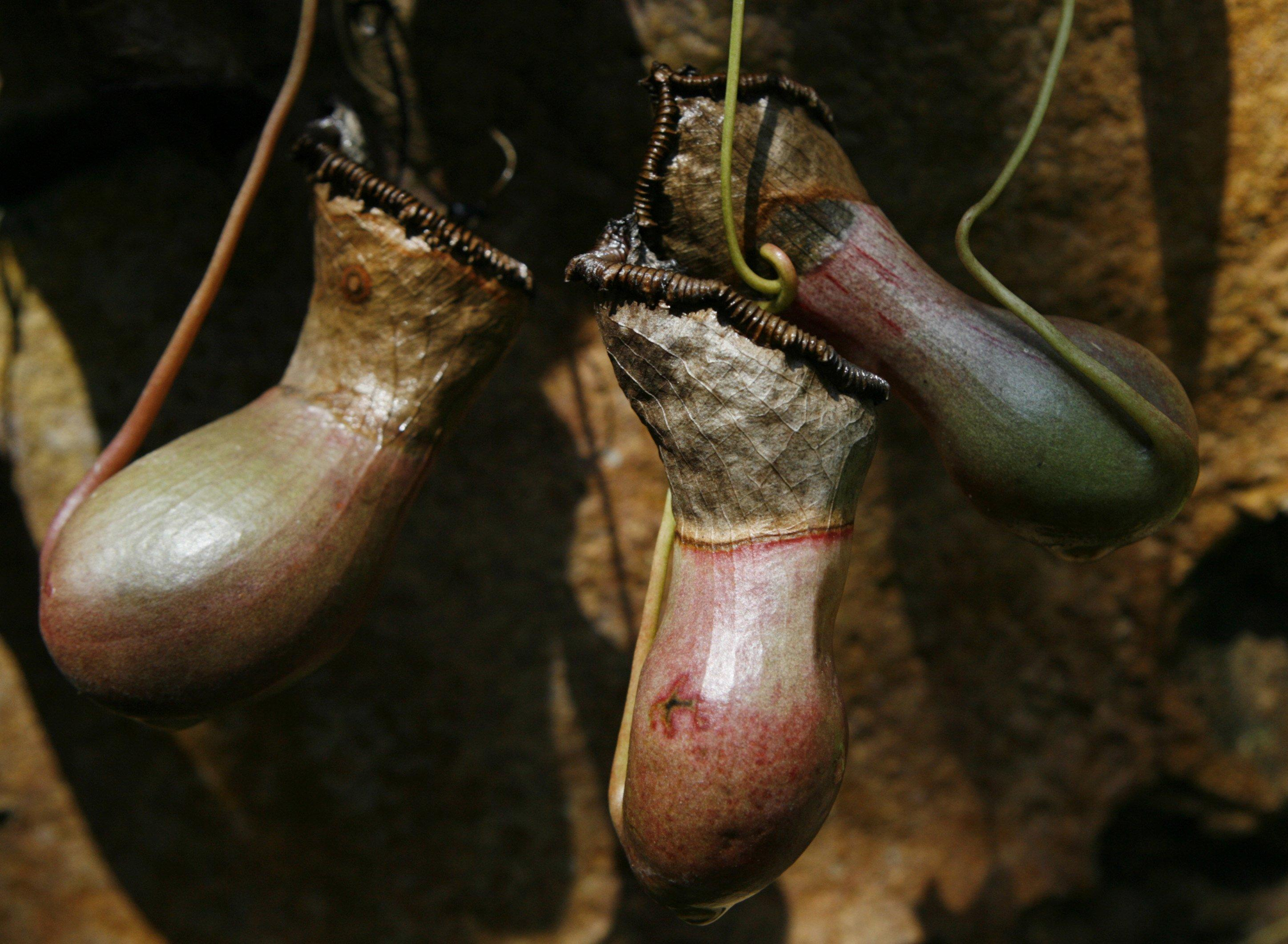 Tre Nepenthes in mostra ai Royal Botanic Gardens di Sydney (Reuters)