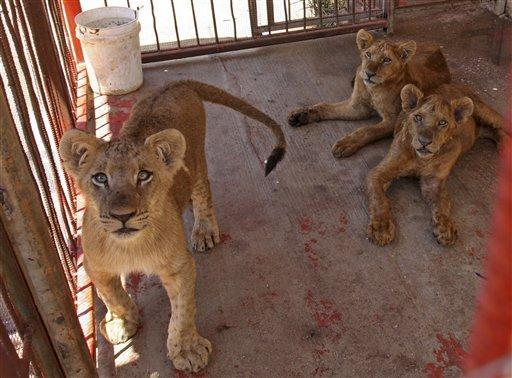 La gabbia dei leoni allo zoo di Gaza