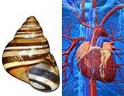 Nuove scoperte sulla relazione tra cuore e conchiglie basata sul Nodal