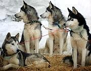 Alcuni cani husky utilizzati per lo sleddog (Afp)