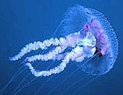 Le meduse: se «pungono», possono dare dei fastidi
