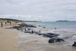 Australia, corsa contro il tempo per salvare le balene spiaggiate: 90 sono morte, rischiano altre 180