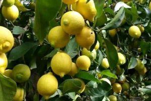 Agricoltura, marchio Igp per il limone dell'Etna: via libera dall'Unione Europea