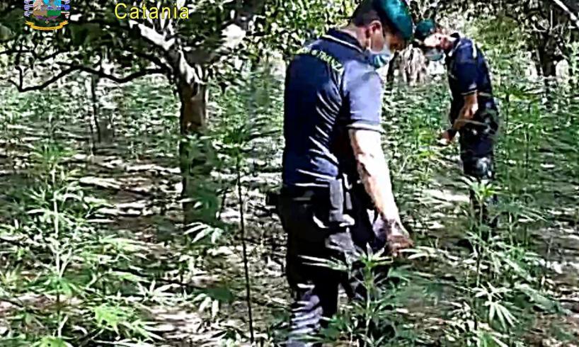 Motta S. Anastasia, scoperta maxi piantagione di marijuana tra gli agrumi: 27enne arrestato in flagranza (VIDEO)