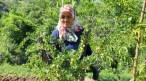 Çorum'da frenk üzümü bahçesi