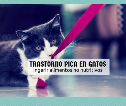 trastorno pica gatos