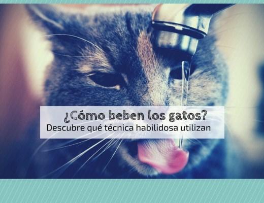 como beben gatos