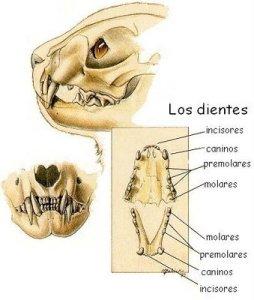 El gato adulto tiene 30 dientes | Foto: losgatosdeeuridice.blogspot.com