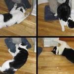 Inhalar la nepeta cataria producte efectos estimulantes en el gato