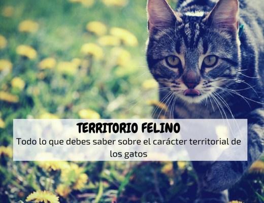 Territorio felino gato