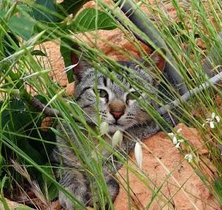 Espigas y gatos