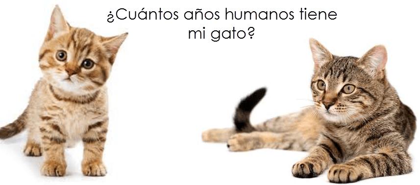 Cu ntos a os humanos tiene mi gato cosas de gatos - Cuidados gato 1 mes ...
