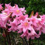 amarilis planta tóxica gato | Foto: flowerpictures.com