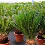 cycas revoluta palmera sago planta tóxica gato | Foto: masiaangela.com
