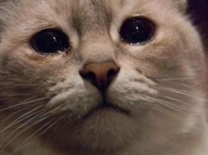 los gatos no lloran para expresar emociones