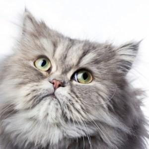 gato persa llora por obstrucción conducto lagrimal