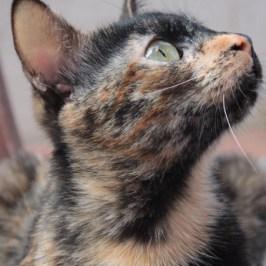 El perfil de la preciosa gata carey Conxa