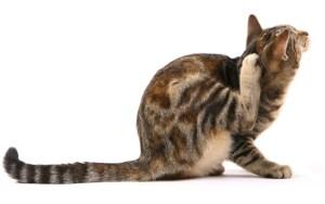 los gatos pueden tener parásitos internos y parásitos externos