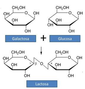 La lactasa es la enzima encargada de digerir la lactosa