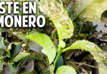 Como cuidar un limonero de las 4 estaciones cosas del jardin for Como acabar con las hormigas del jardin