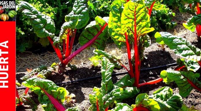 como cultivar acelga