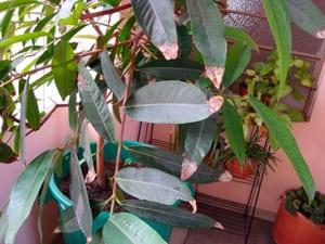 hojas con puntas secas (4)