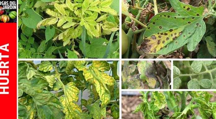 hojas amarillas en tomates