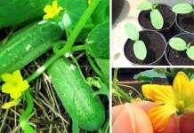 Cómo cultivar pepinos en casa