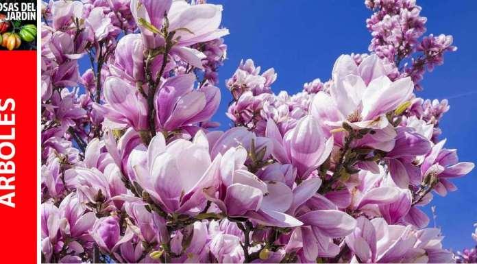 Cuidados de la Magnolia