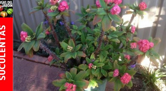 guia de cultivo corona de cristo o espinas