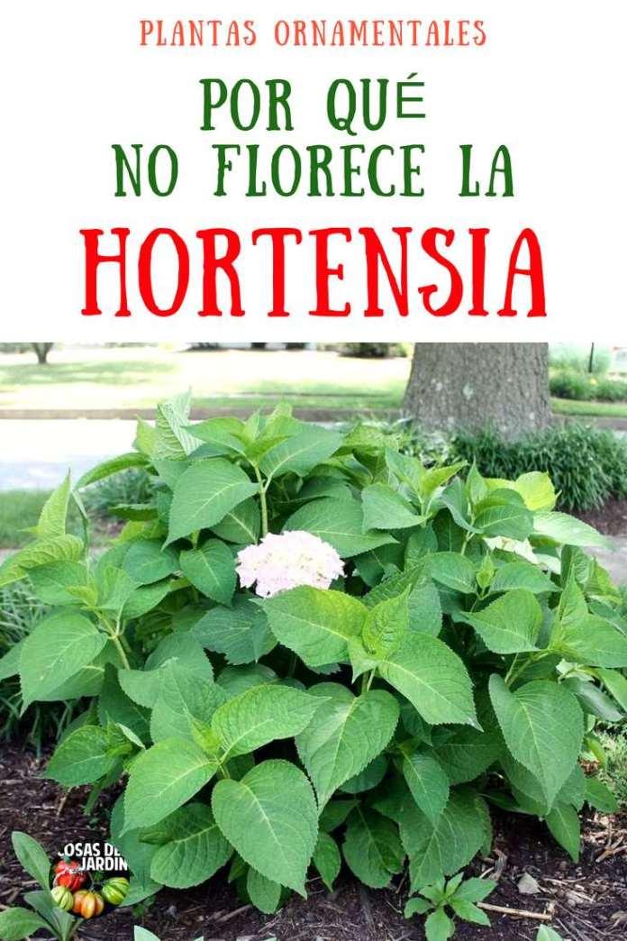Debido a que son tan hermosas, realmente notas cuando tus hortensias no florecen. Es como si algo faltara en el jardín. Una hortensia que no florece puede ser frustrante, un bajón.