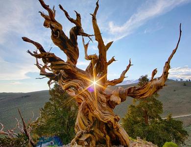 matusalemme-l-albero-piu-antico-al-mondo