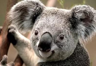 koala - Copia