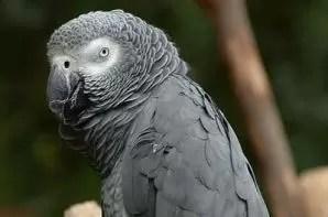 pappagallo grigio - Mod