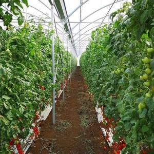 serra per agricoltura (pomodori)