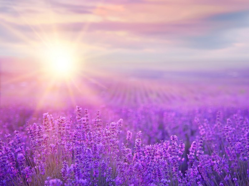 Lavender – Aromatherapy Focus