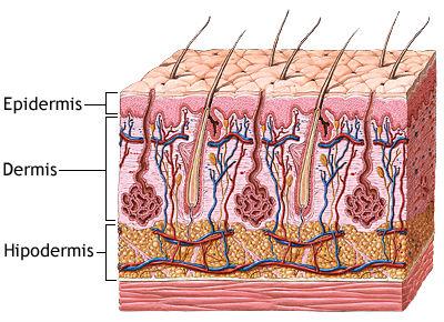 Resultado de imagen de epidermis piel