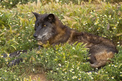 The cascade mountains wolf (canis lupus fuscus) is an extinct subspecies of the gray wolf that was once found in the pacific northwest but became extinct in. Wolves Of The World Mackenzie Valley Wolf Canis Lupus Occidentalis