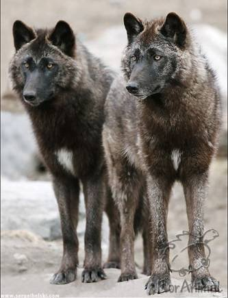 Wolves Of The World  Steppe Wolf  Canis lupus campestris